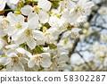 white apple flowers texture 58302287