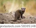 Common dwarf mongoose in Kruger National park, 58305148