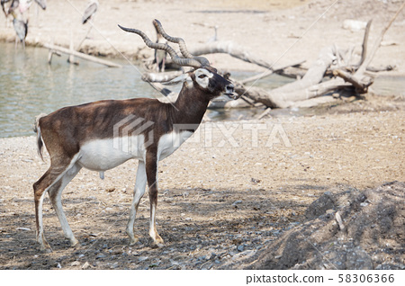 The Blackbuck deer standing in front of the lake. 58306366