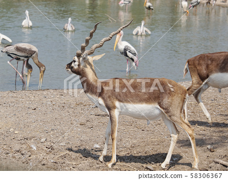 The Blackbuck deer standing in front of the lake. 58306367