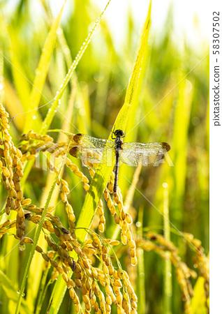 在秋天的田野上的昆蟲和露水 58307502