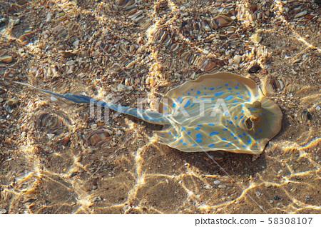 species of stingray near of beach 58308107