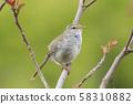 Warbler-Japanese Spring 58310882