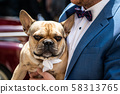 Brown bulldog sniffs in the hand of the groom during a wedding with a white band dress 58313765