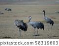 Common cranes. 58319603
