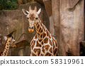 Lovely Young Baby Giraffe at the zoo 58319961