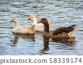 Three Gooses swiming on river, looking for 58339174