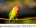 Beautiful parrot, Sun Conure on tree branch. 58339175