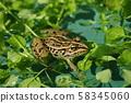 Tonosaura青蛙 58345060