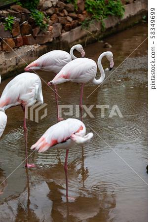Beautiful pink flamingo in the zoo.. 58349699