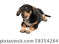 dachshund puppy isolated 58354264