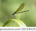 Macro of female Banded Demoiselle, Calopteryx splendens resting on a green leaf. Damselfly of family 58358026