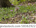 Japanese squirrel smells primrose flowers 58362922