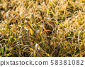 yellowed wheat sprouts 58381082