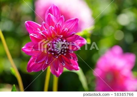 달리아 꽃도 권 1 58385766