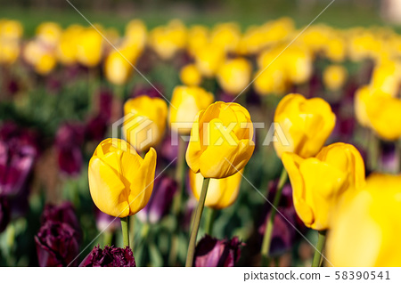 Blooming tulip fields in Netherlands, flower with 58390541