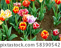 Blooming tulip fields in Netherlands, flower with 58390542