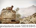 Arabian tahr at Jebel Shams in Oman 58393845