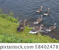 Group of greylag goose runnig to the lake at Thingvellir National Park, Iceland, summer 58402478