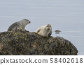 close up harbor seals (Phoca vitulina), male and female sitting on the sea grass covered rock in 58402618
