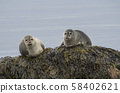 close up harbor seals (Phoca vitulina), male and female sitting on the sea grass covered rock in 58402621