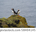 couple of close up Atlantic puffins Fratercula arctica standing on rock of Latrabjarg bird cliffs 58404145
