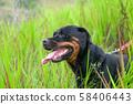 Portrait of a handsome Rottweiler dog 58406443