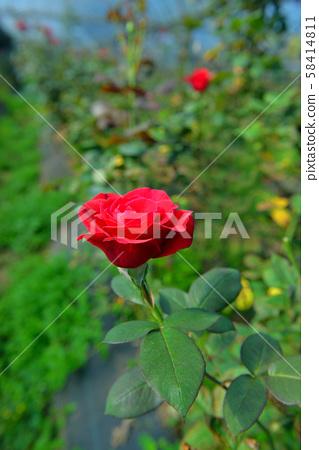 玫瑰花園 58414811