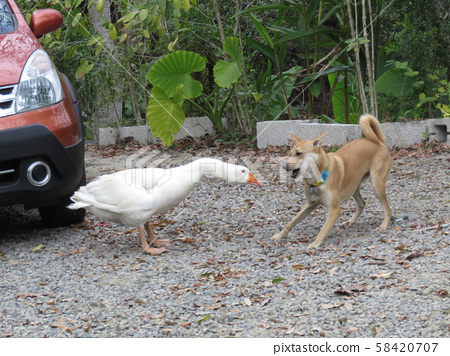 白鵝與黃狗的打鬥 58420707