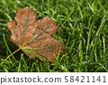 Orange leaf on green grass. Autumn leaf birch. Dew drops on green grass 58421141