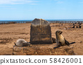 Seals at the Cape Cross Seal Reserve in Skeleton Coast, Namibia 58426001