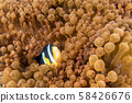 Clown fish inside red anemone in indonesia 58426676