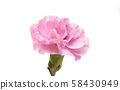 pink carnation flower isolated 58430949