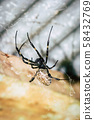 A black and brown colour spider is photographed close up, macro picture,Natural background,spider and spider web. Spiders are creating spider webs. 58432769