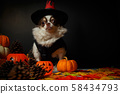 Adorable chihuahua dog wearing a Halloween witch 58434793