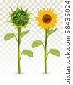 3D Realistic Sunflower with Green bud. Summer flower with green leaf. Sunflower and green bud on 58435024