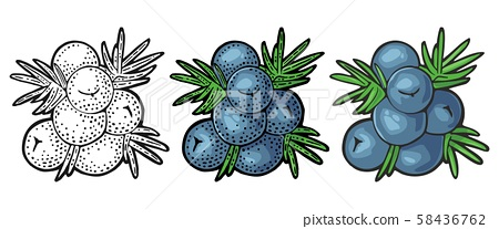 Branch of Juniper with berries. Vintage vector color engraving 58436762