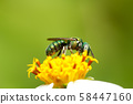 Green bee on flower 58447160