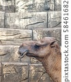 lovely cute head shot face close up portraits profile of a brown african camel in a zoo 58461682