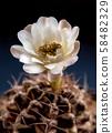 Gymnocalycium Cactus flower close-up 58482329