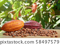 Raw colorful cacao ripe 58497579