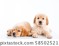 Two little golden retriever dogs lying on the  floor over white background 58502521