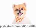 Closeup pomeranian dog isolated over white background 58505006