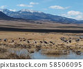 Rocky mountain range with herd of Canadian vines resting on meadow 58506095