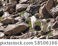 White goat parent and child moving on the rock 58506166