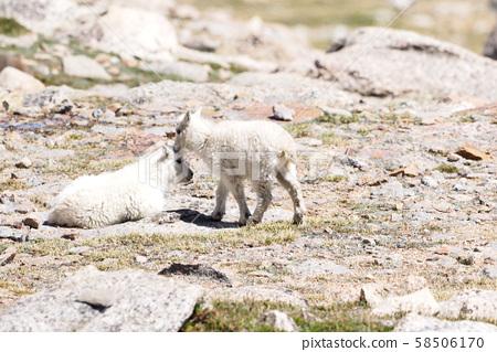 兩個特寫山羊孩子擁抱 58506170