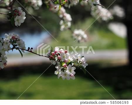 Club Apple flowers 58506193