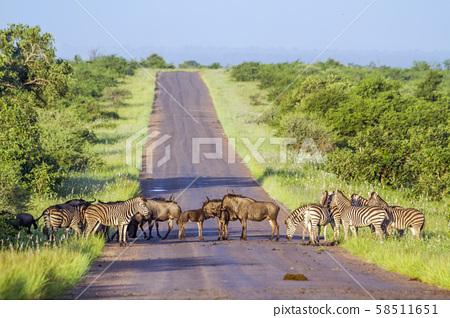 Blue wildebeest and Plains zebra in Kruger 58511651