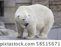 Polar bear 58515671