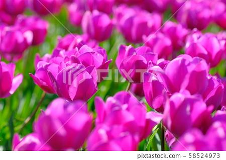 Tulip purple flag 58524973